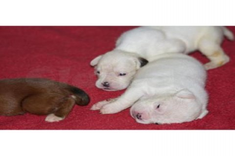 White Boxer Puppies available