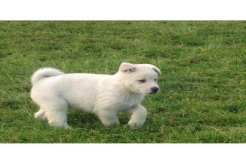 ·  Chunky Akita puppies.
