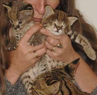 3 Savannah Kittens for sale