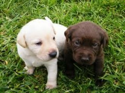 Labrador retriever Puppies Available