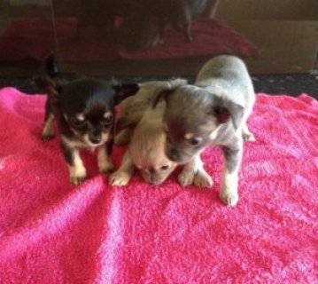 صور Lovely Chihuahua Puppies for Sale 1