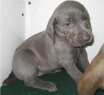 Adorable Male and Female Weimaraner puppies ready to go home11