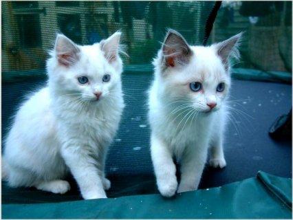 2 Beautiful Indoor Pedigree Ragdoll Kittens For Rehoming