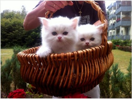 Beautiful White Persian kittens for Rehoming