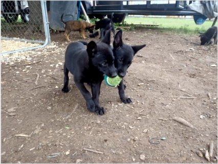 Black Belgian Malinois Puppies For Rehoming