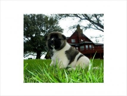 Admirable Akita pups ready For Rehoming