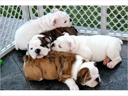 English Bulldog puppies For Rehoming Breed: English Bulldog