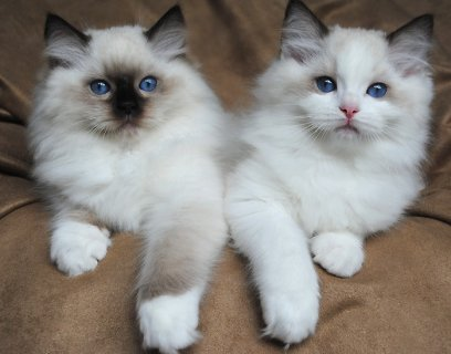 صور Ragdoll Kittens for Rehoming 1