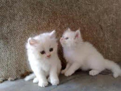Beautiful Persian cats available.