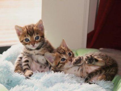 BENGAL KITTEN.very lovely and friendly,