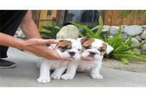 2 Amazing English Bulldog Puppy Available