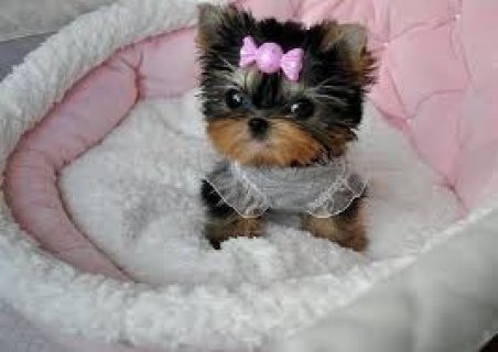 2 Beautiful Teacup Yorkie Puppies
