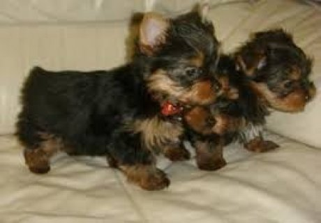 صور 2 Cute and Adorable Yorkie Puppies for Adoption 1