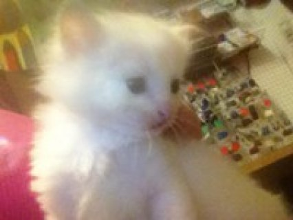 Doll Face White Persian Female Kitten