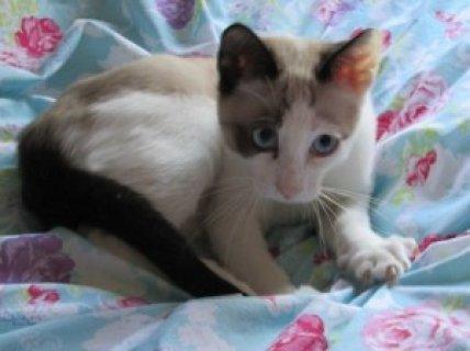 2 GCCF Registered Snowshoe Kittens