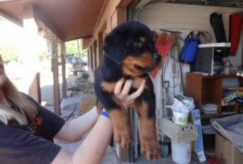 Awesome Rottweiler Puppies for Adoption