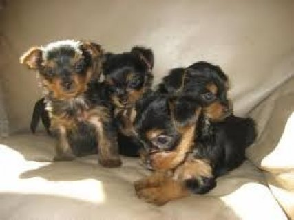 2 Top Quality Male and Female Yorkshire Terrier Pups