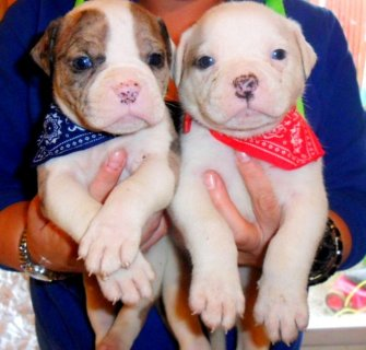 صور  Chunky Solid Alapaha Bulldogs **** Blue Eyes ****For Sale 1