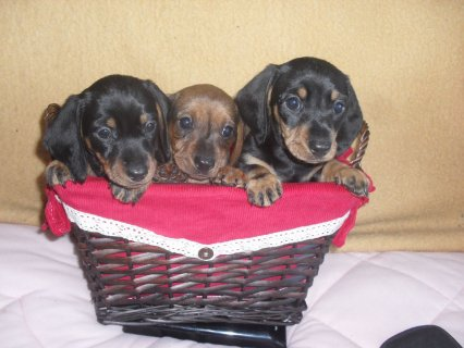 صور 3 Dachshund Bitch Puppies Boy And Girl Ready Now 1