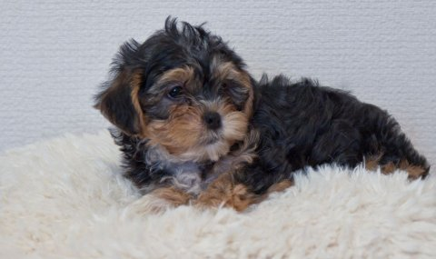 Cute Cross Yorkie Maltischon Puppies Cross Maltischon For Re-ho