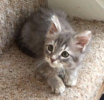 2  Baby Allergy Siberian Kittens For Rehoming