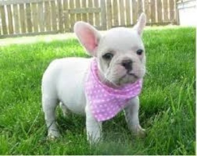 Adorable French Bulldogs for Adoption