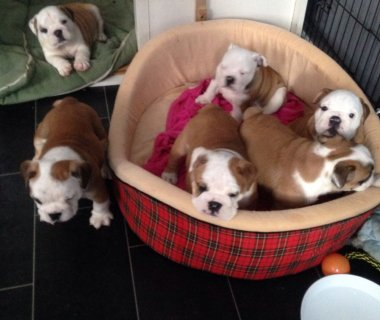 Wounderfull English Bulldog Puppies for Adoption