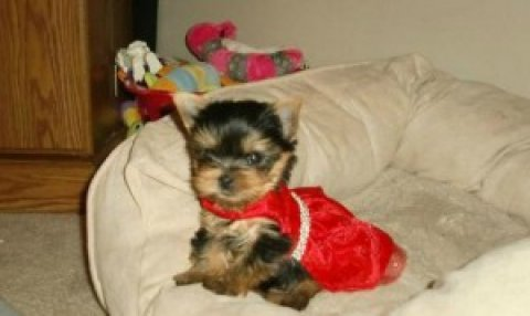 Teacup Parti Carrier Yorkie (AKC)