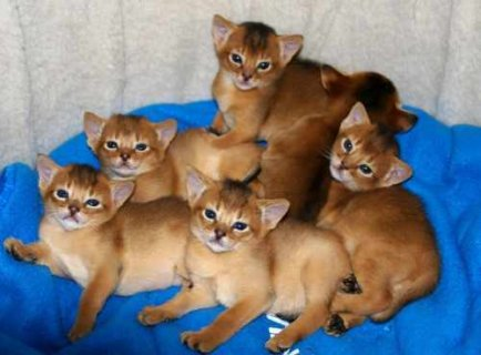 Registered Abyssinian kittens available for adoption
