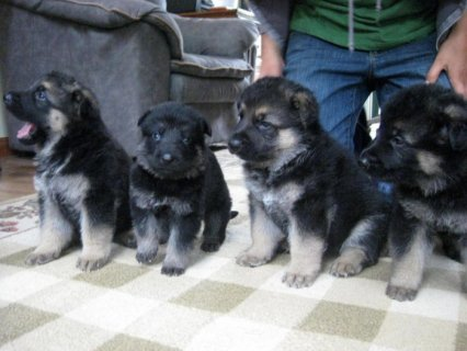 صور  German Sheperd Puppies for free Adoption 1
