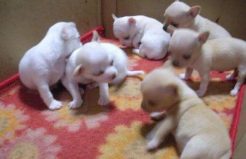 White Apple Head Teacup Chihuahua Puppies Ready