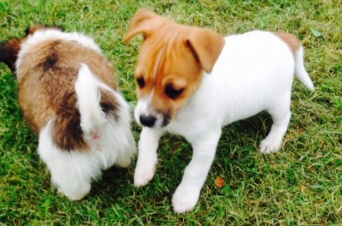 3 Left Jackhuahua Male Puppies for free adoption