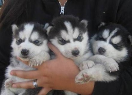 صور Lovely  Siberian Husky Puppies For Sale 1