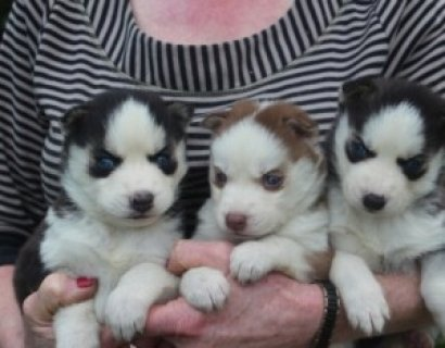 Two Adorable CKC Female Siberian Husky Puppies For Rehoming