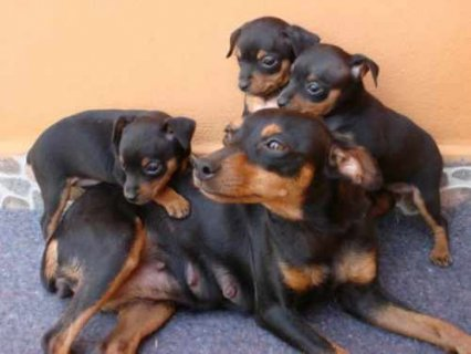 Black and brown Doberman Pinscher Experience puppies Stud