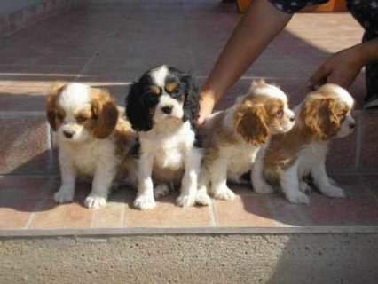 Adorable cavalier king charles Puppies For Adoption