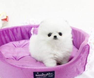 صور Little Breed Teacup Pomeranian Puppies Available For Xmas 1