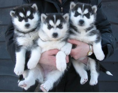 صور Blue Eyes Siberian Husky Puppies for Available For Xmas 1