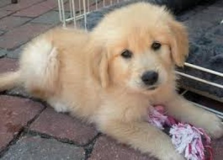 2 Purebred Golden Retriever Puppies 2