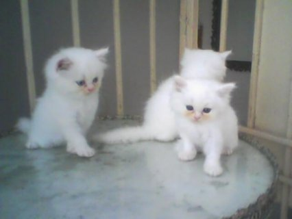 صور Beautiful Persian cats available 1