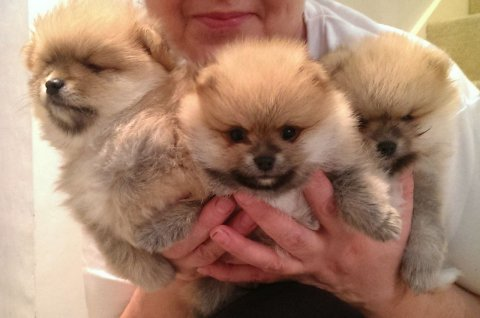 Handsome Miniature Teacup Pomeranian Puppy Boy 1 Left