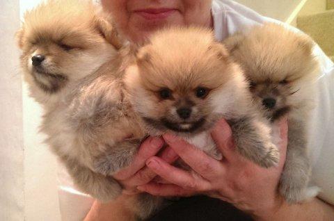 Handsome Miniature Teacup Pomeranian Puppy Boy 1 Left