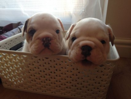 صور Two X_mas English Bulldog Pups Available  1