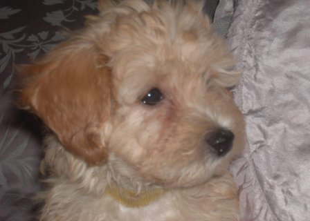 صور High Quality Red Maltipoo Female Puppy Kc Reg Parents 1