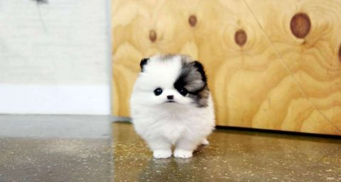 Attractive Male and female pomeranian  puppies for good hom