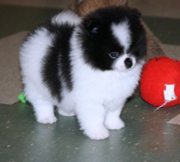 صور TECHNICAL TEACUP POMERANIAN  AND LOVELY PUPPY 1