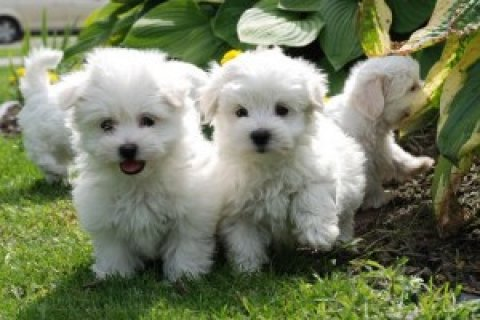 Three Beautiful Maltese Puppies