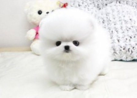 affectionate and intelligent Teacup Pom puppies