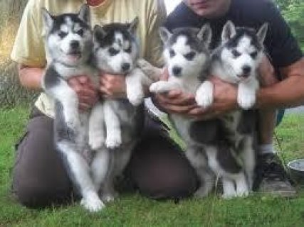 XMas Huskies for Sale