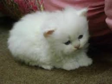 Gorgeous & Charming Pure Breed Persian Kittens